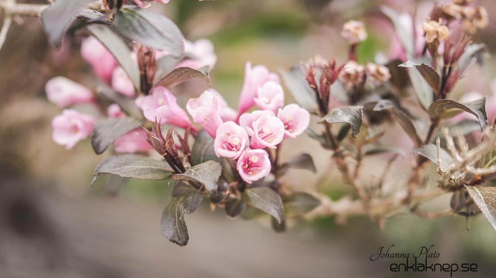Fotografera, vår , blomma